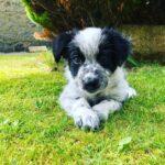 Vinnie The Collie Puppy